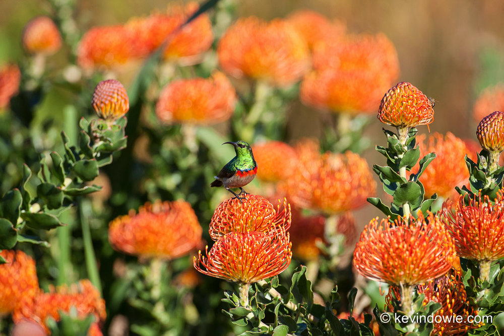 Southern Double-Collared Sunbird on Protea, Kirstenbosch. 2