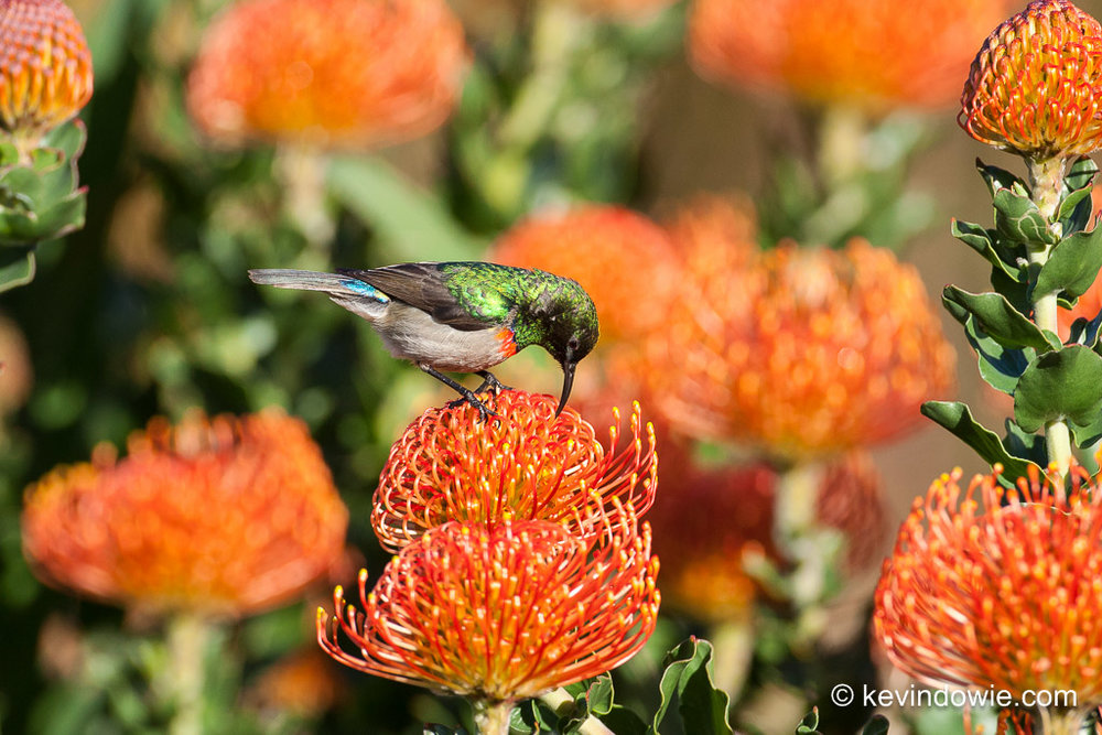 Southern Double-Collared Sunbird feeding on Protea.