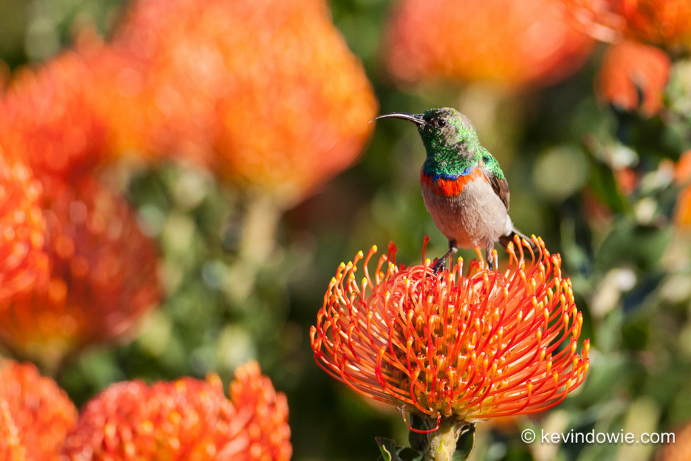Southern Double-Collared Sunbird on Protea, Kirstenbosch. 3