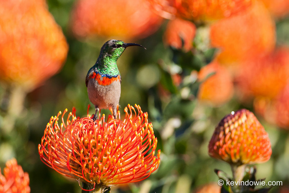 Southern Double-Collared Sunbird on Protea, Kirstenbosch. 4