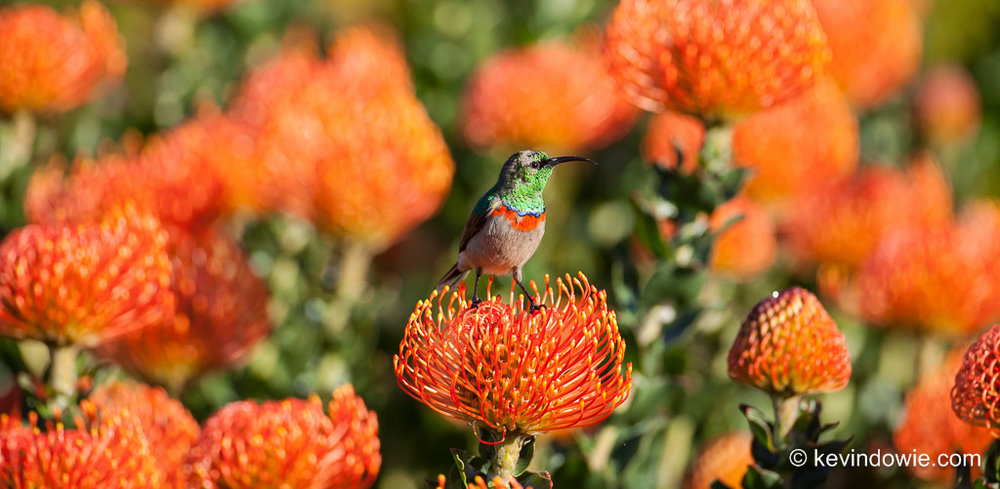 Southern Double-Collared Sunbird on Protea, Kirstenbosch. 5