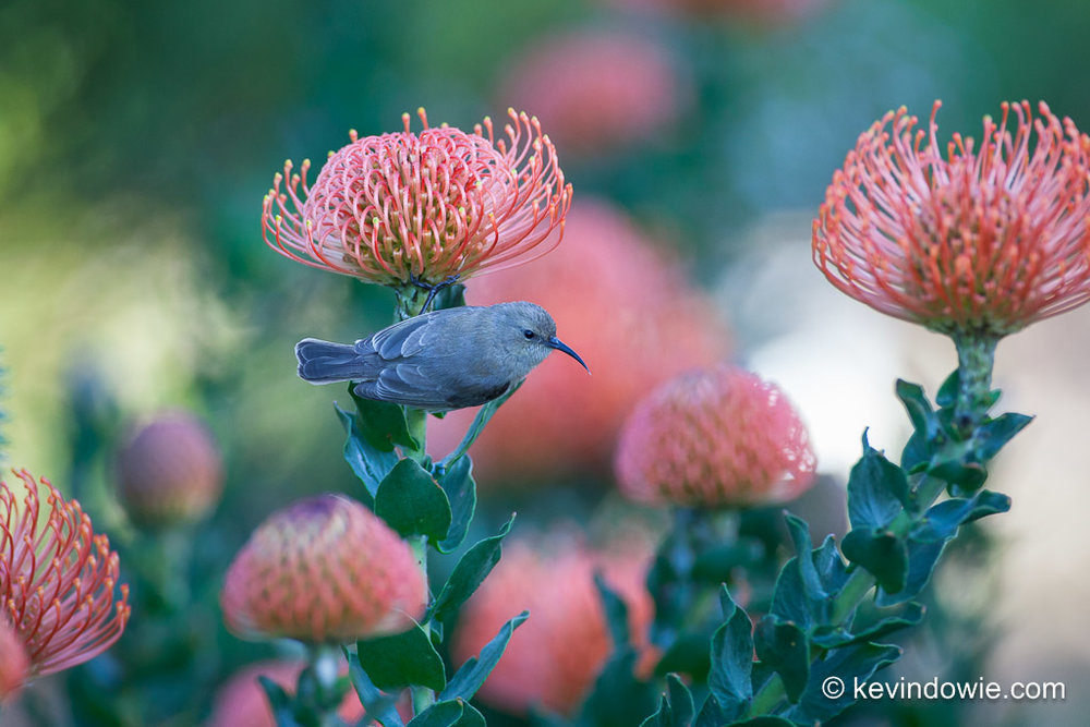 Female Southern Double-Collared Sunbird on Protea, Kirstenbosch.