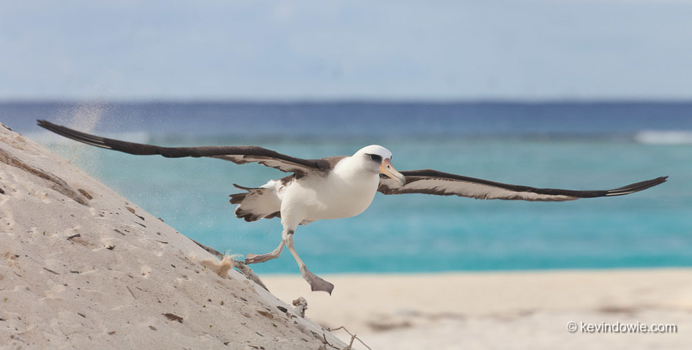 Running to take off. Laysan Albatross, Midway Atoll.