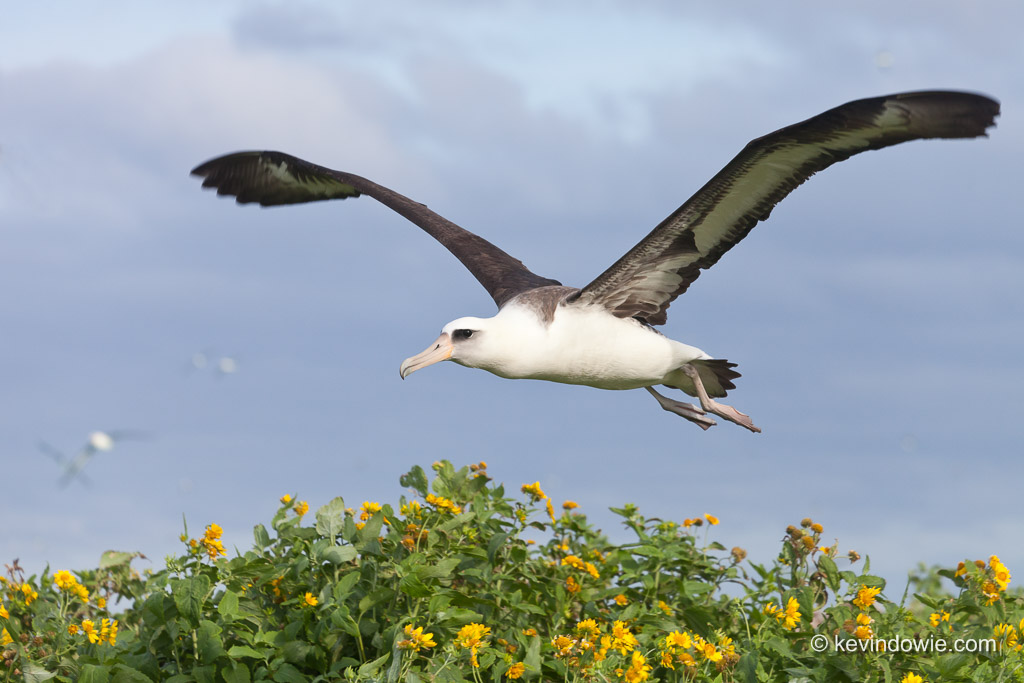 Laysan Albatross flying over flowers, Midway Atoll.