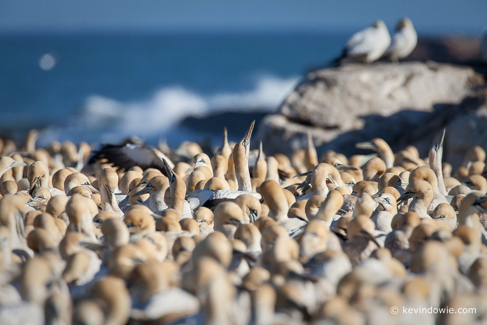 Cape Gannet colony, Lamberts Bay, South Africa