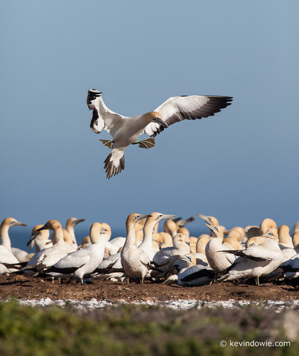 Preparing to land. Cape Gannet, Lamberts Bay, South Africa