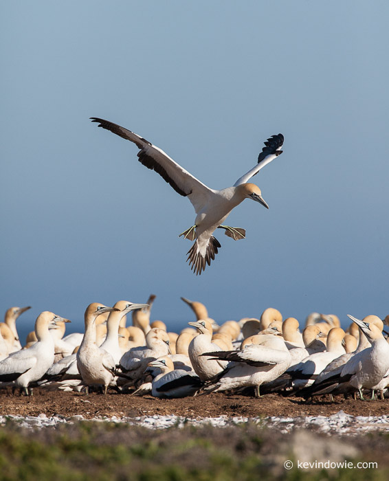 Landing approach. Cape Gannet, Lamberts Bay, South Africa