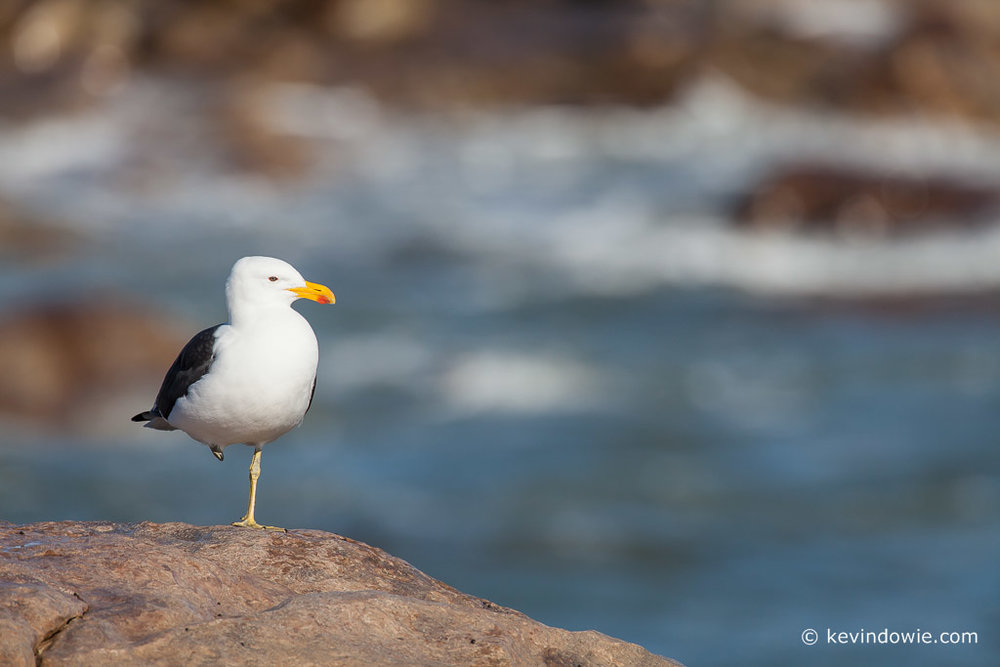 Kelp Gull, Lamberts Bay, South Africa.