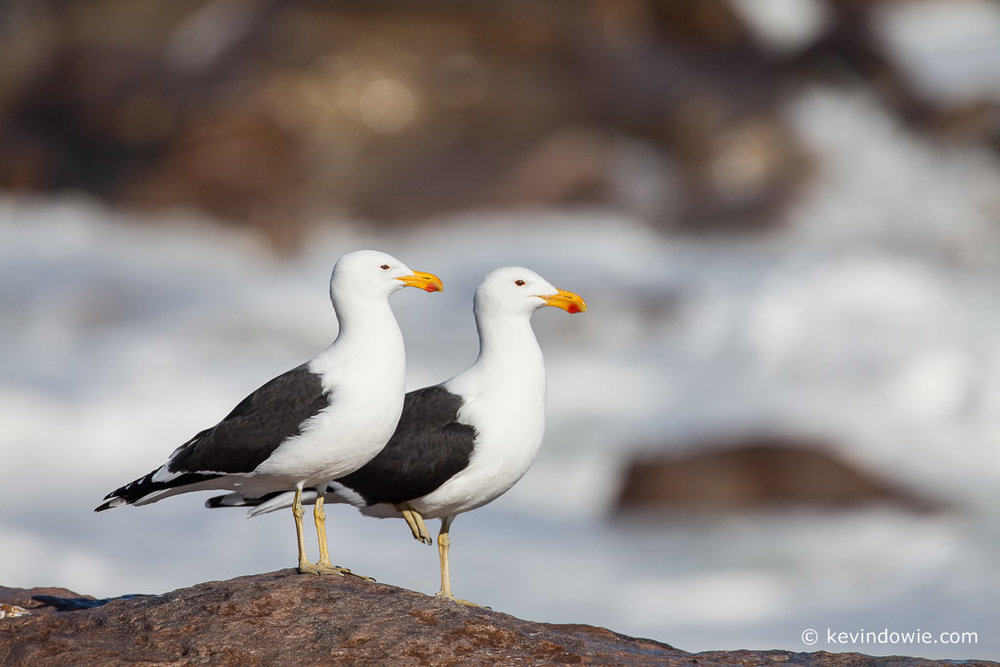 Kelp Gulls, Lamberts Bay, South Africa.