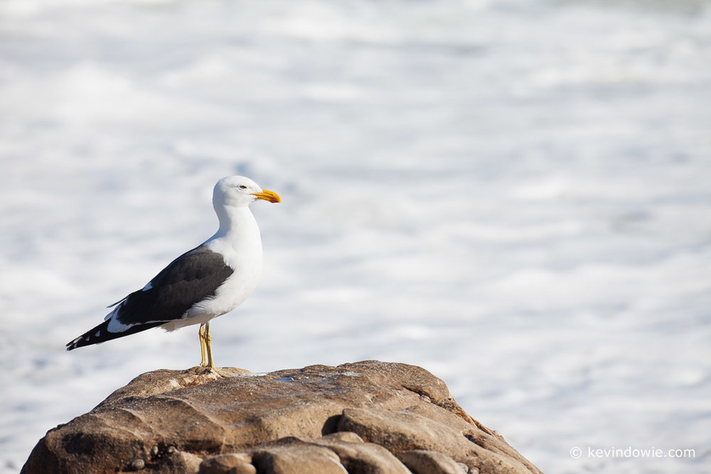 Kelp Gull on rock, Lamberts Bay, South Africa.