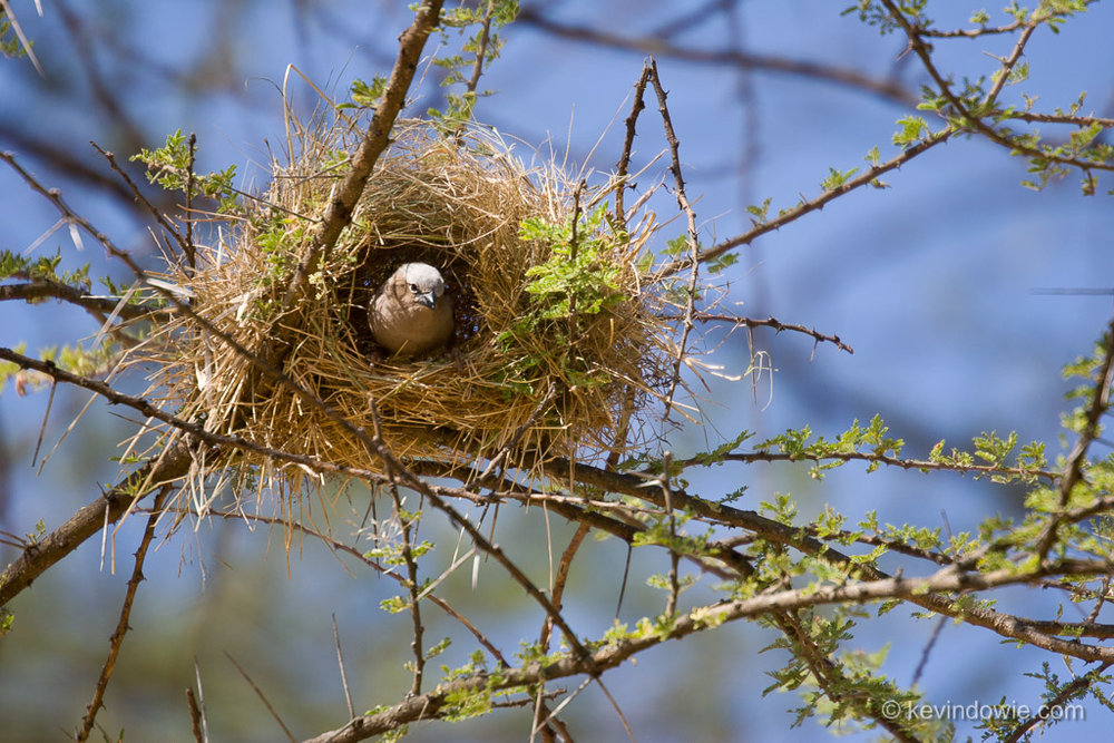 Weaver bird at nest, Serengeti National Park, Tanzania