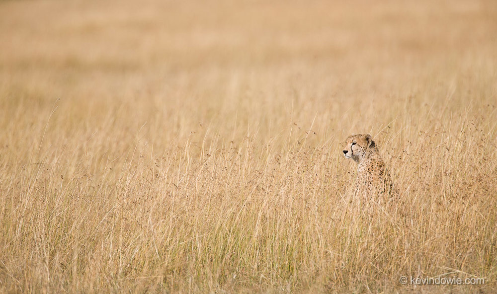 Cheetah in grass, Serengeti National Park, Tanzania