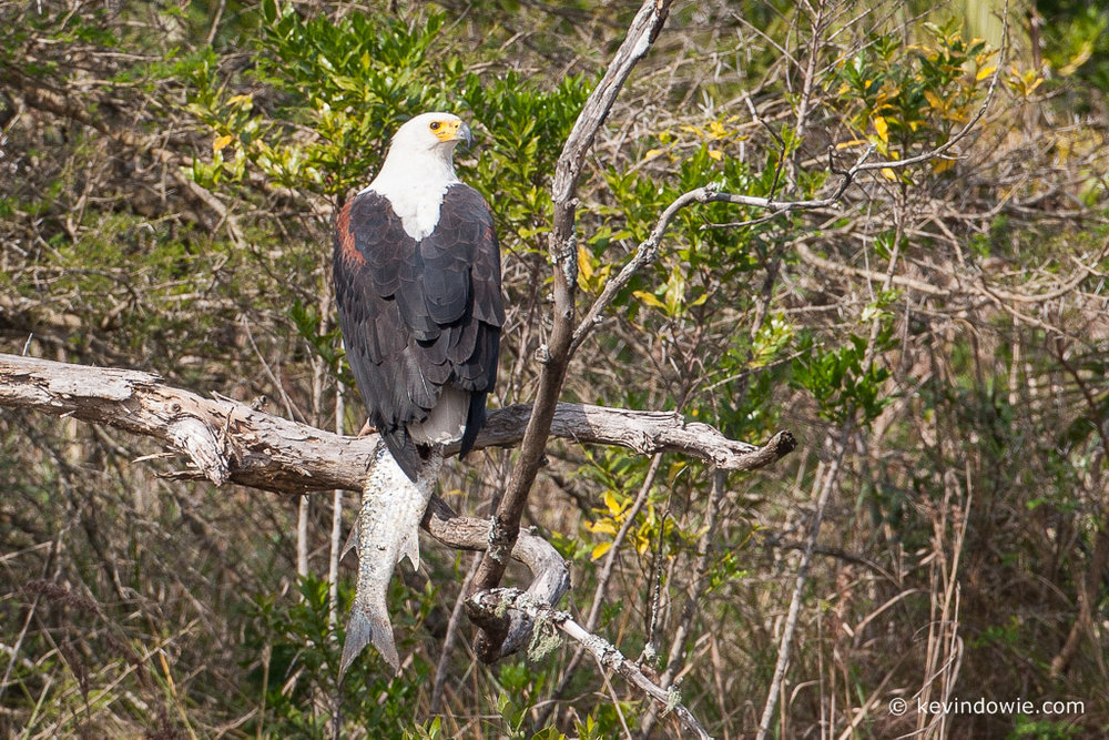 African fish eagle with prey, St Lucia Wetlands, South Africa.