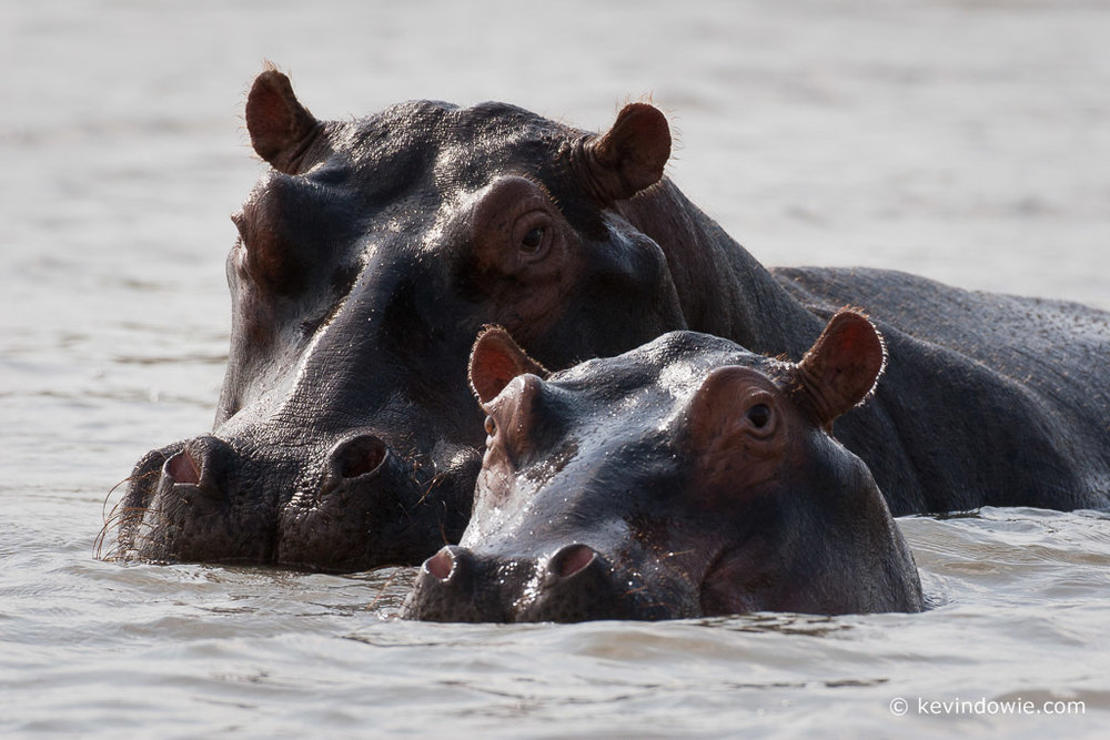 Hippopotamus mother and calf, St Lucia Wetlands, South Africa.