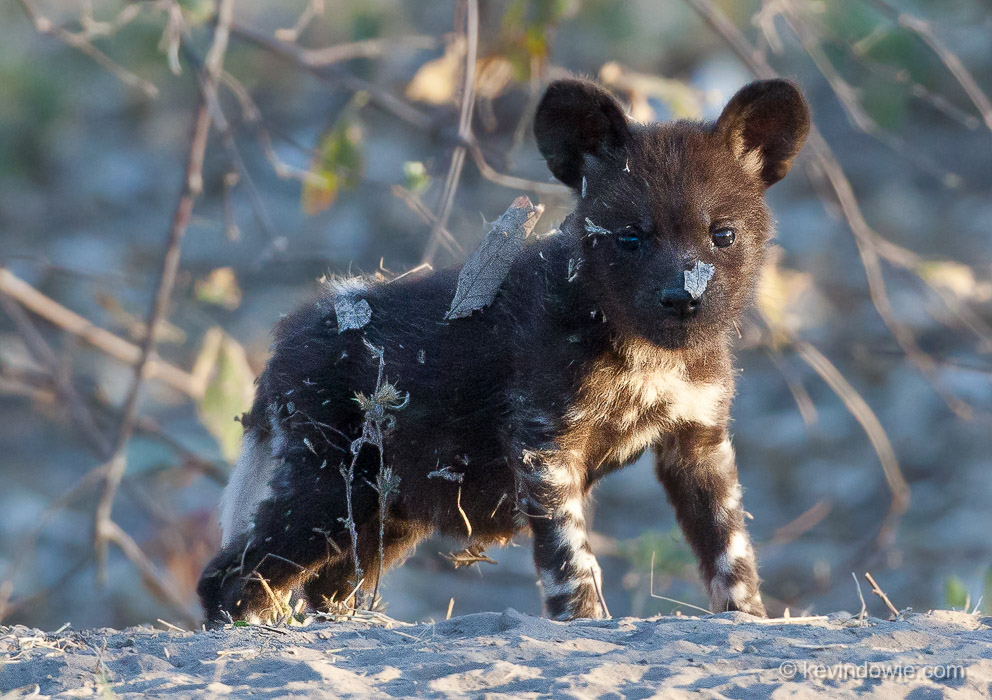 African wild dog pup.