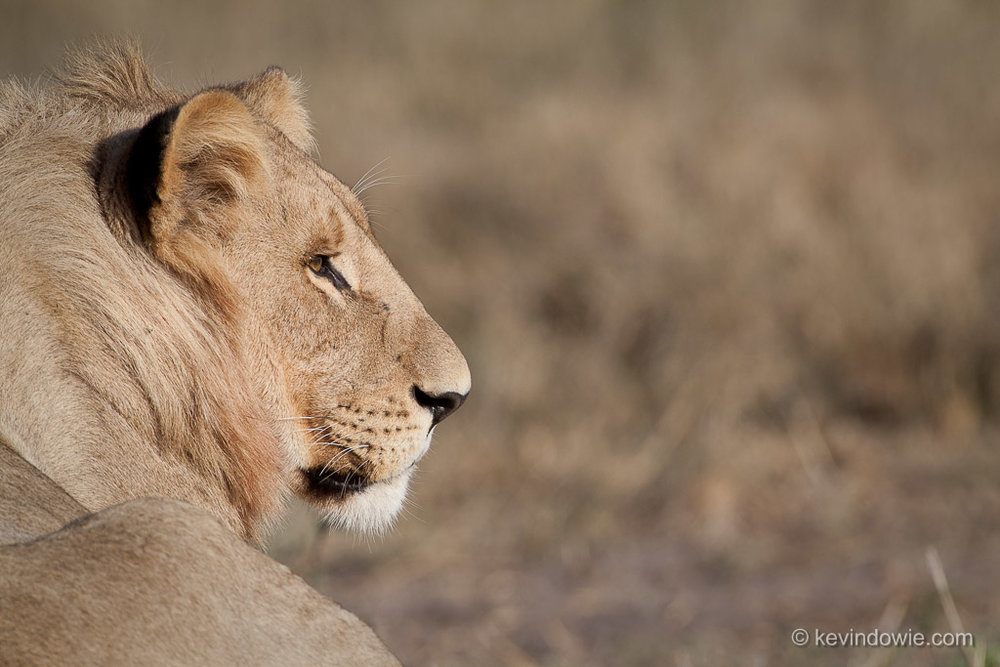 Lion in profile, Okavango Delta
