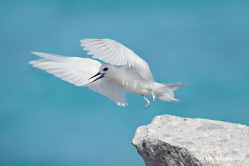 White Tern taking flight, Midway Atoll.