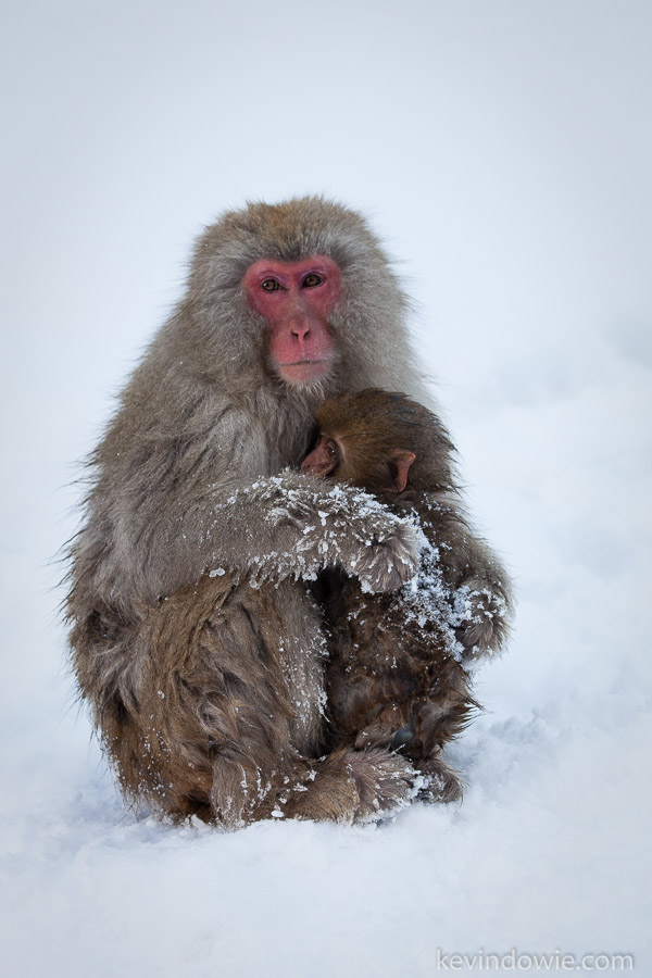 Snow monkey mother clutching infant