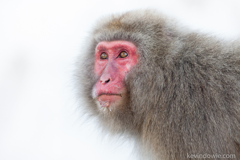 Japanese Macaque,  Snow Monkey.