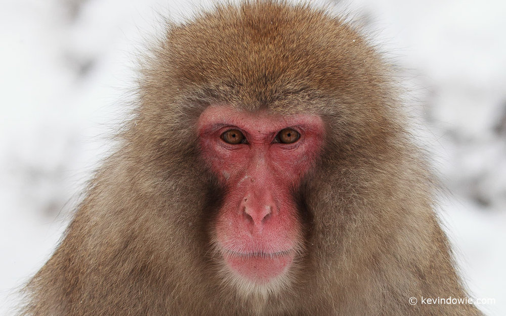 Snow Monkey close up, Japan.