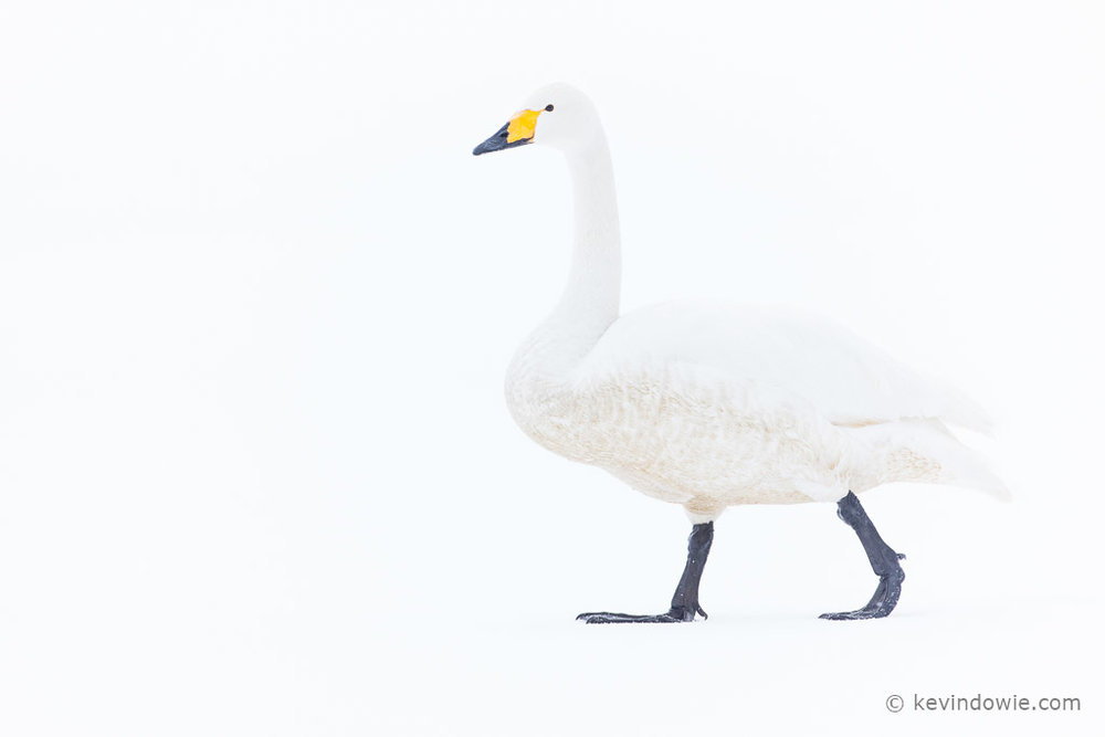 High key Whooper Swan walking on ice
