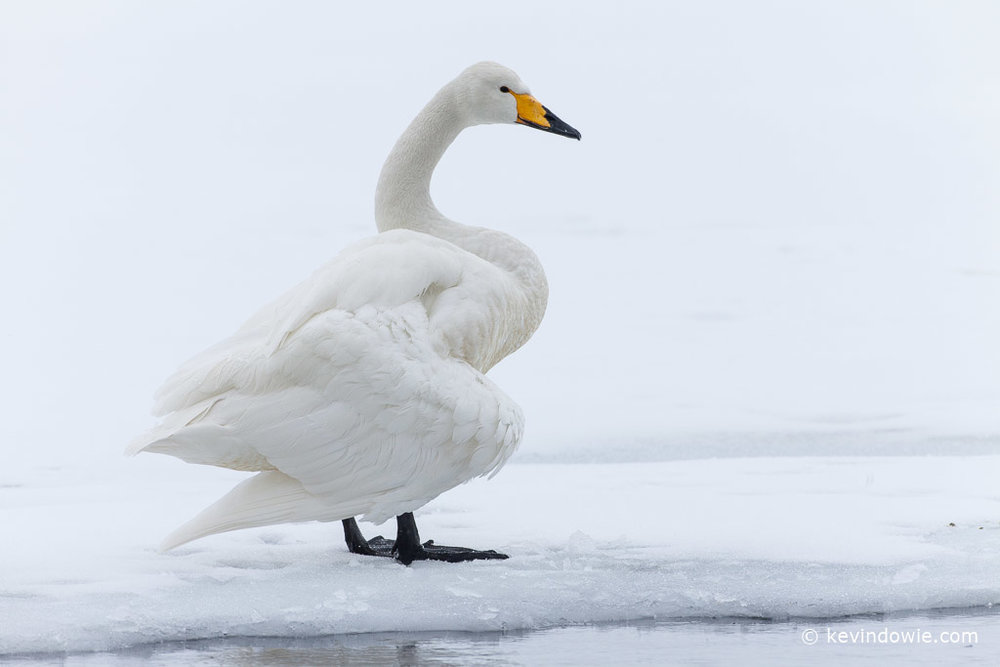 Whooper Swan at ice edge