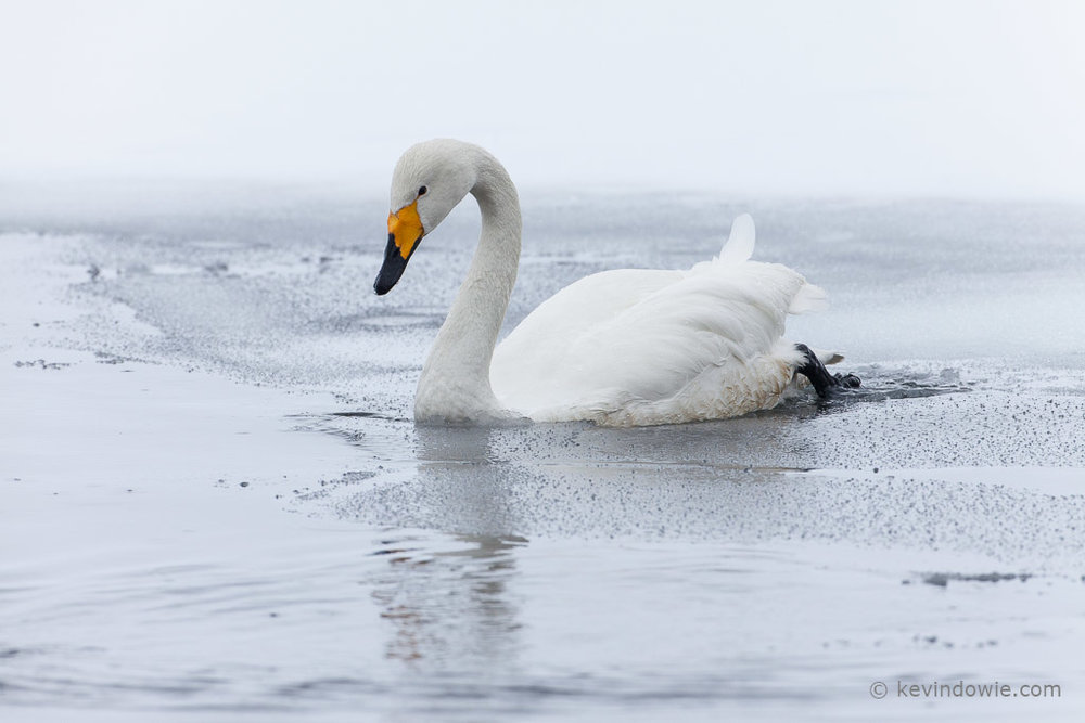 Whooper Swan entering icy water