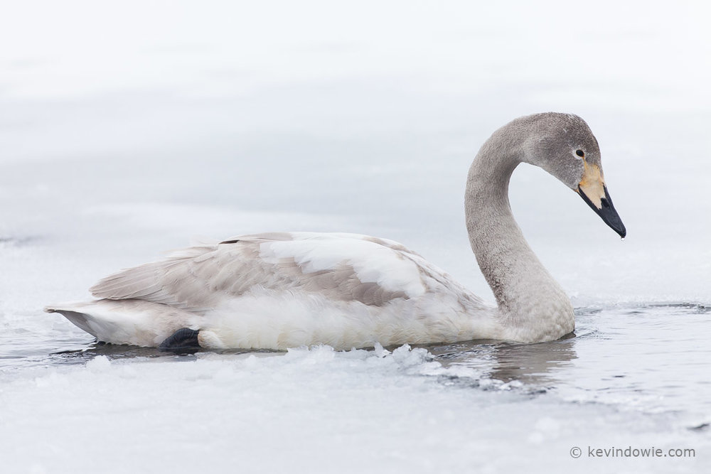 Juvenile Whooper Swan swimming through ice