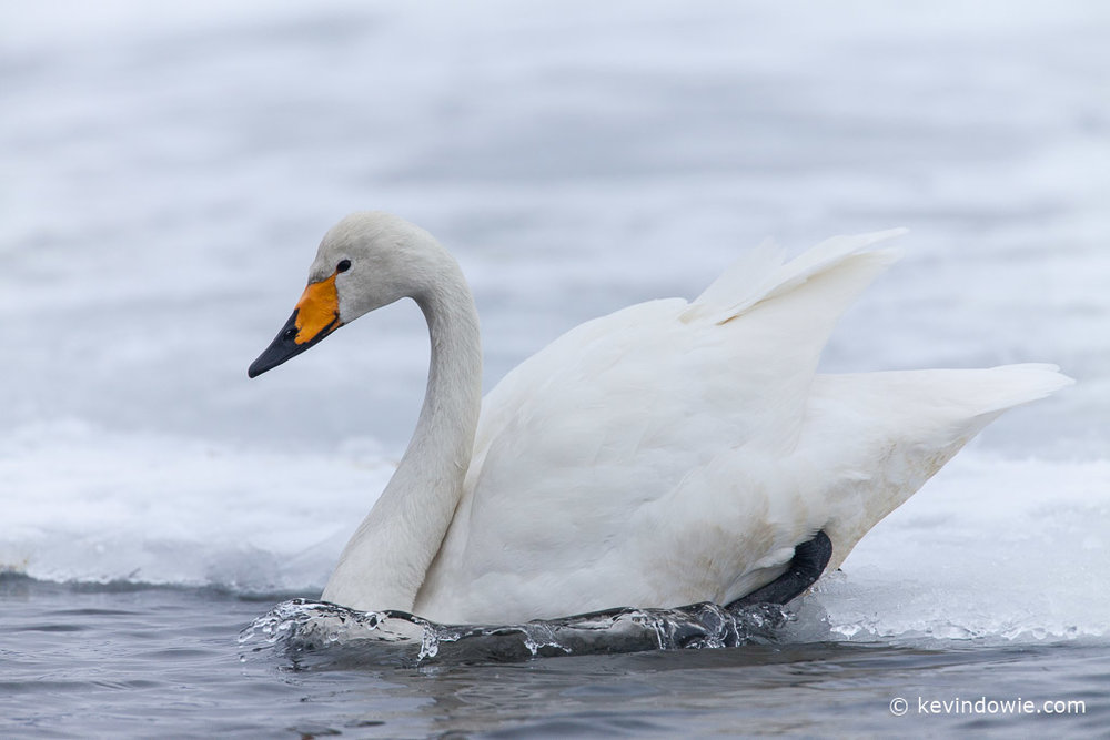 Whooper Swan entering water with splash