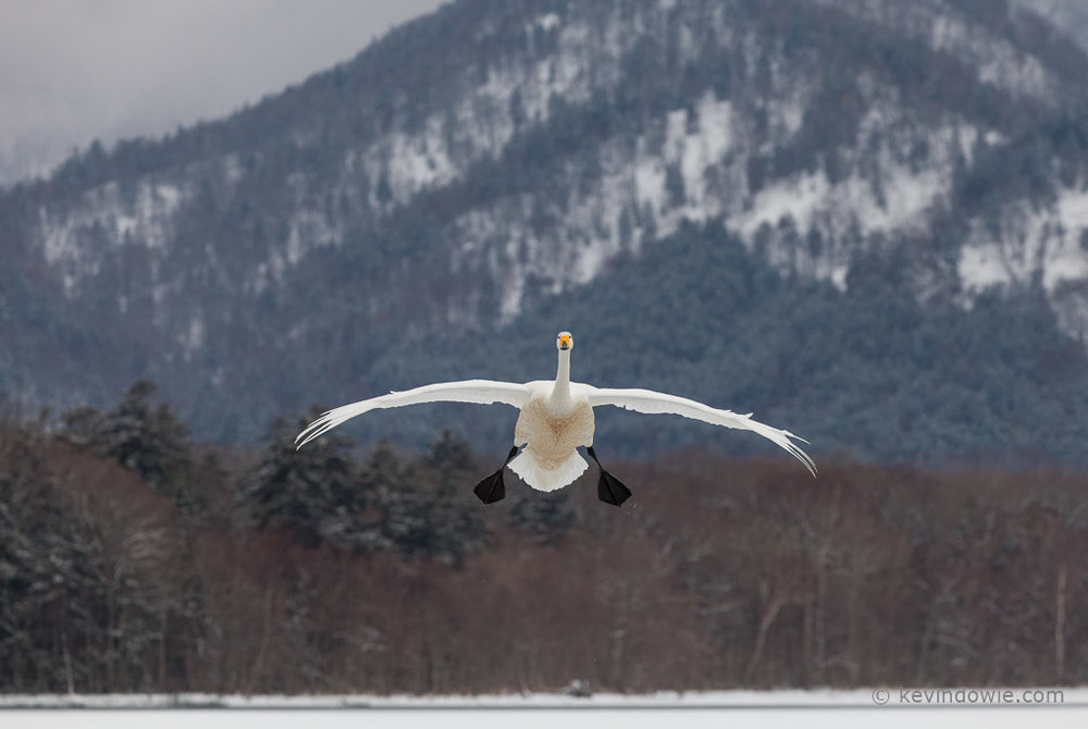 Whooper Swan on landing approach