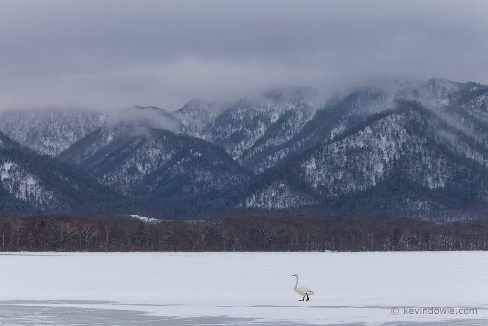 Whooper Swan in winter landscape, Lake Kussharo