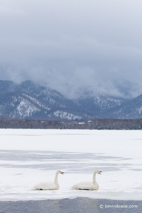 Whooper Swan pair in landscape, Lake Kussharo