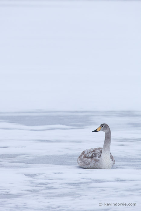 Juvenile Whooper Swan resting on ice