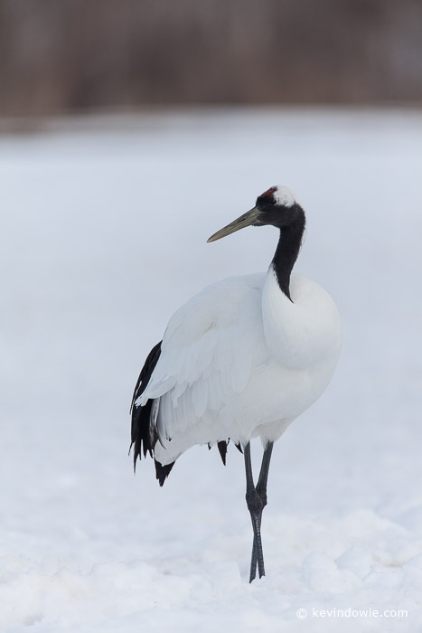 Red-crowned Crane portrait