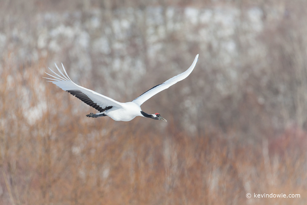 Red-crowned crane in flight, Hokkaido