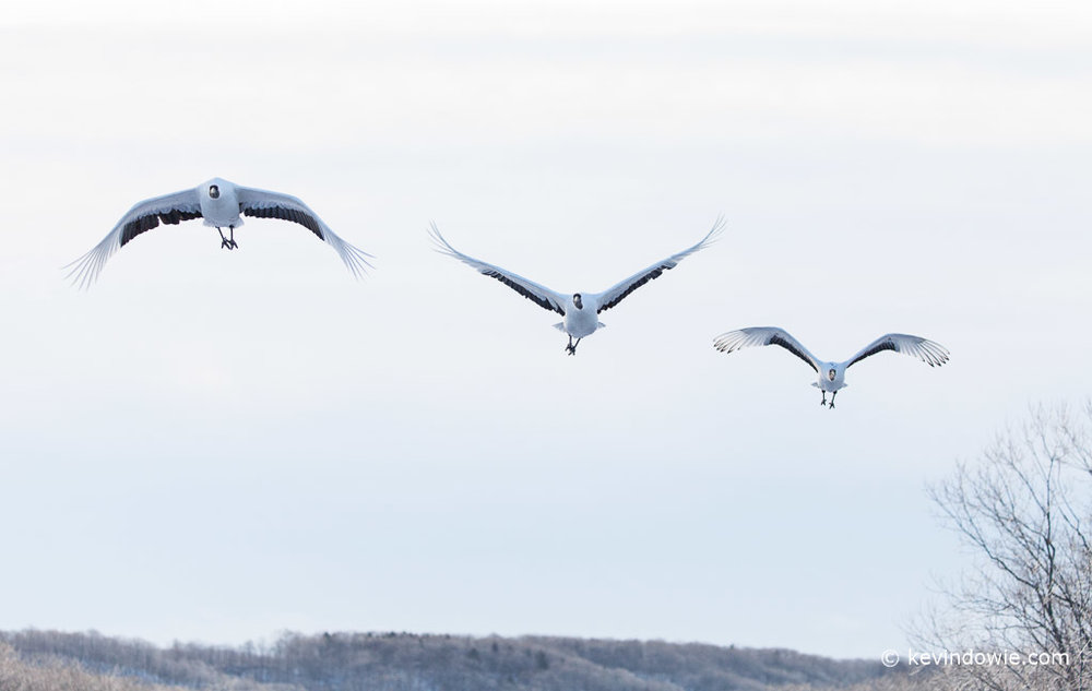 Red-crowned Cranes in flight, Hokkaido