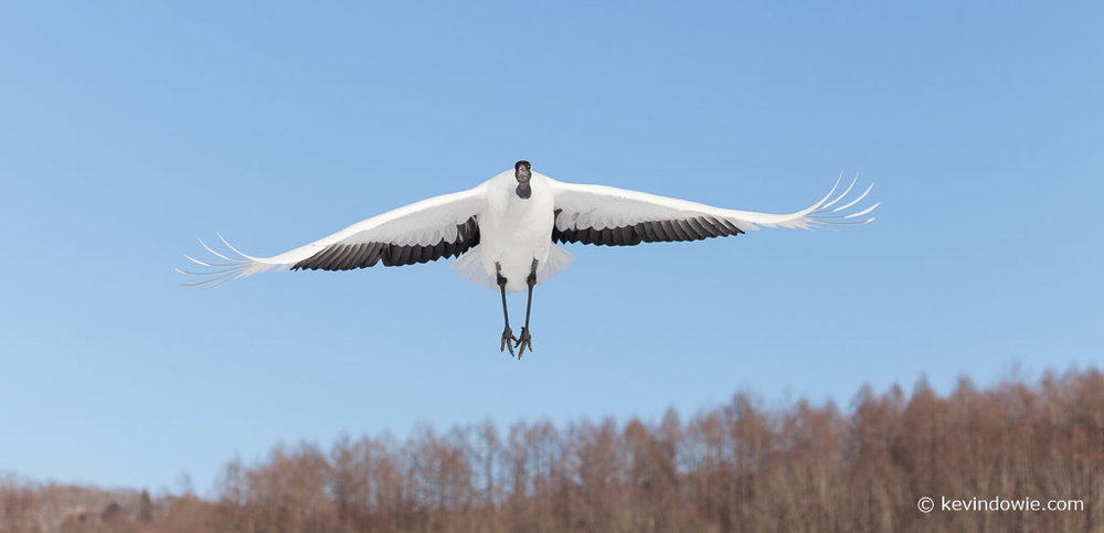 Red-crowned Crane landing approach