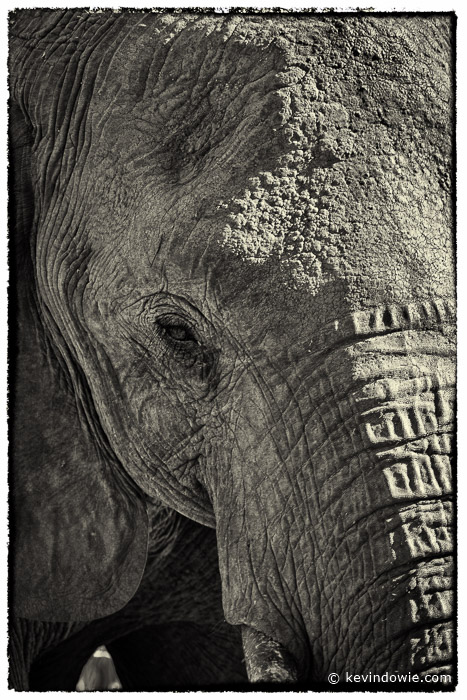 Elephant closeup. coffee toned treatment