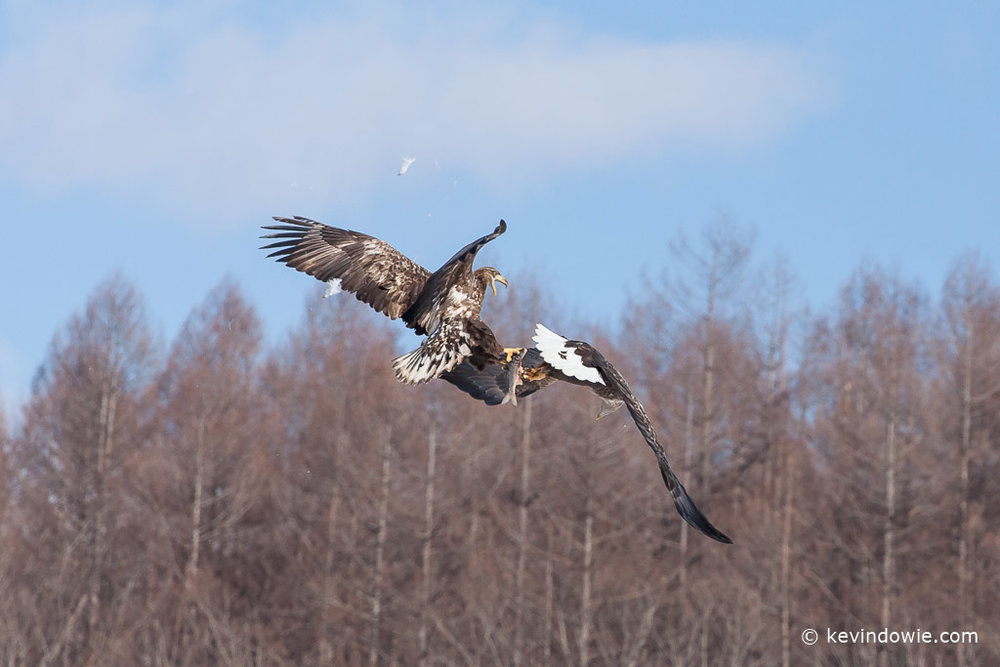 White-tailed Eagles fighting over a fish (2).