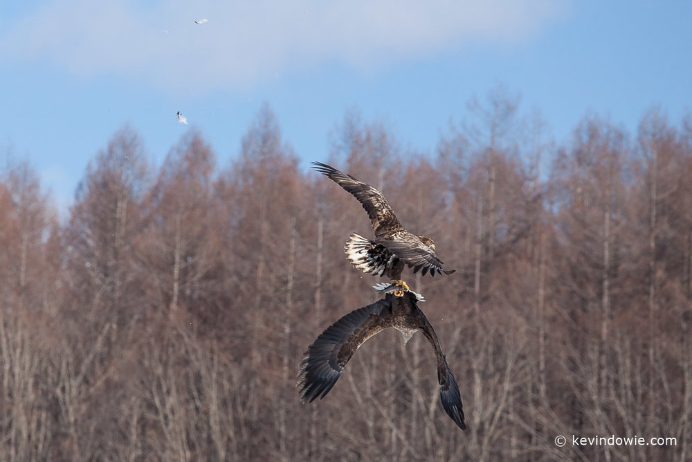 White-tailed Eagles fighting over a fish (3).