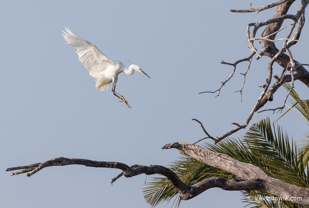 Little egret landing in tree.