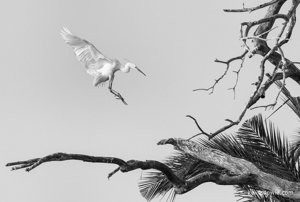 Little egret landing in tree. SFX