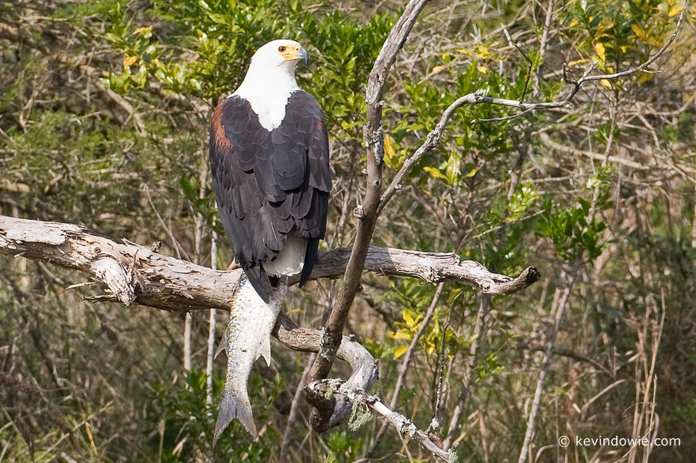 20080709_kevindowie_african-fish-eagle_south-africa_0079.jpg