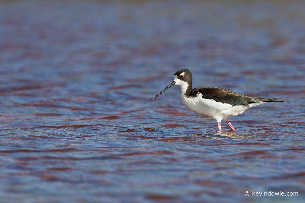 Hawaiian Stilt, wading, Hanapepe Salt Ponds