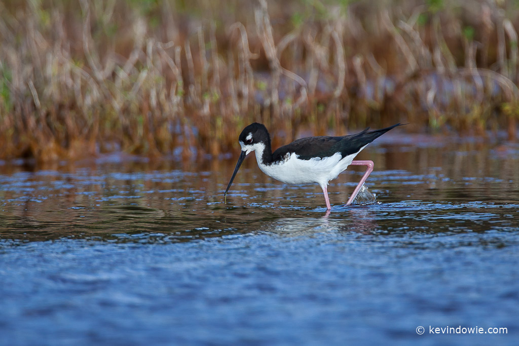 Hawaiian Stilt, stalking prey