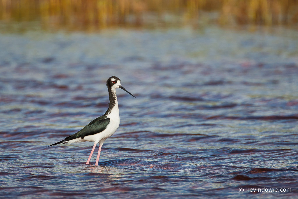 Hawaiian Stilt, Hanapepe Salt Ponds, Kaua'i