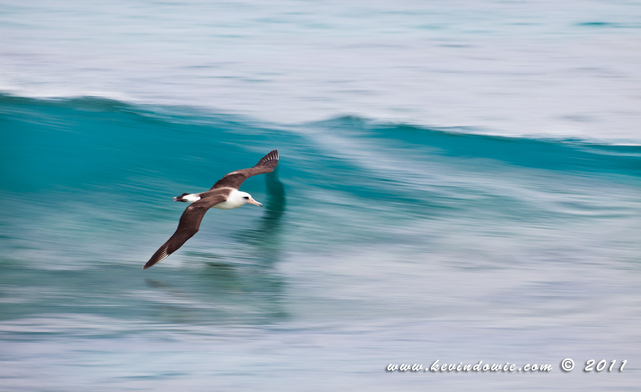 Laysan Albatross skimming wave, Midway Atoll.