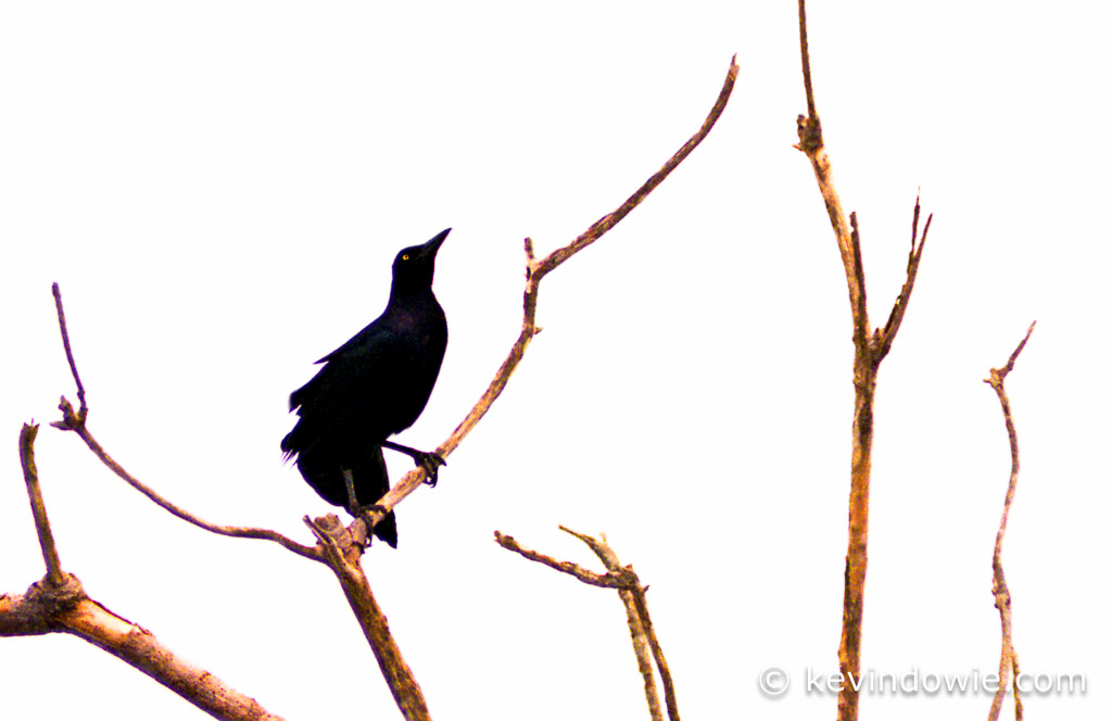 Great-tailed grackle in tree, Galapagos Islands