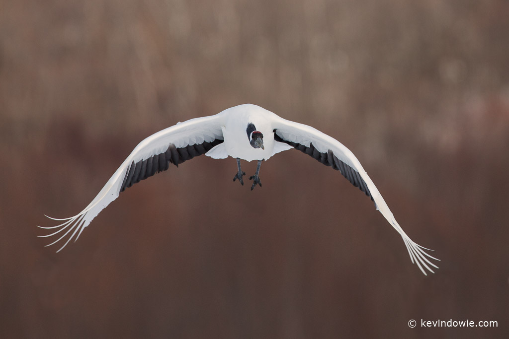 Red-crowned Crane flying in, Hokkaido