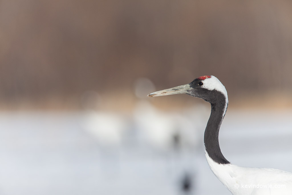 Red-crowned Crane, profile